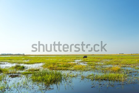 Hippo In Chobe National Park Stock photo © THP