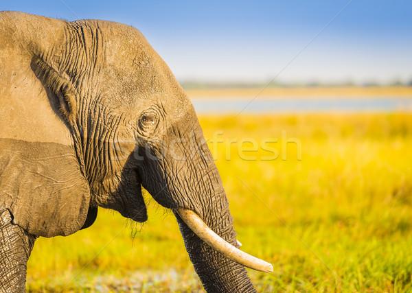 Smiling Elephant Africa Background Stock photo © THP