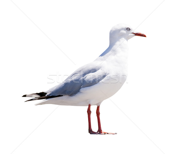 Seagull Isolated Stock photo © THP
