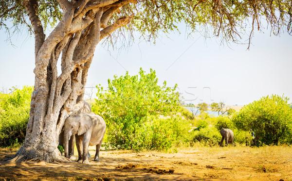 Baby Elephant Hiding Under Tree Stock photo © THP
