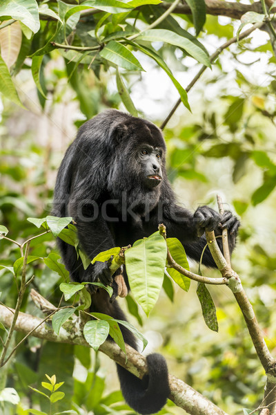 Black Howler Monkey Tongue Out Stock photo © THP