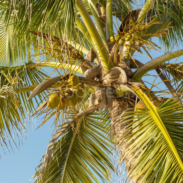 Cocotier arbre coco palmier ciel bleu Photo stock © THP