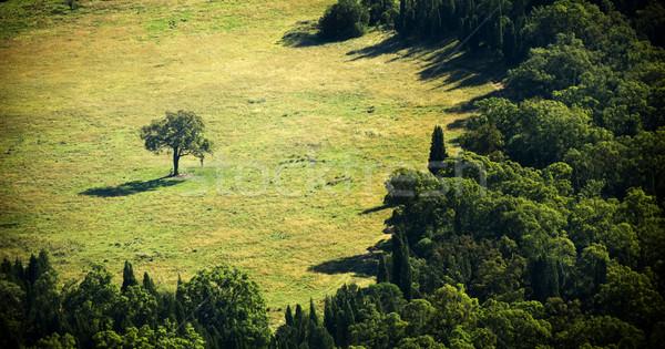 Különálló fa egy egyedüli erdő nap Stock fotó © THP