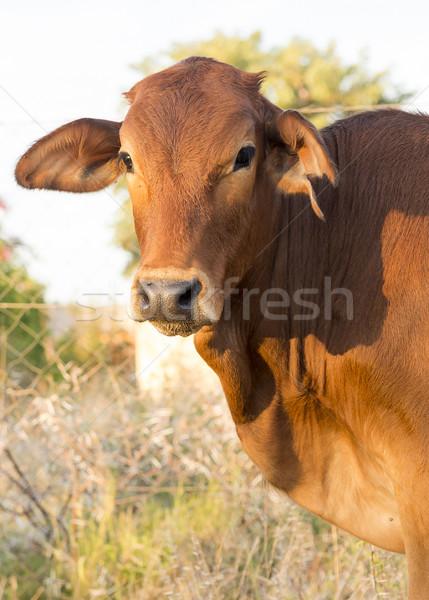 Cow Calf Stock photo © THP