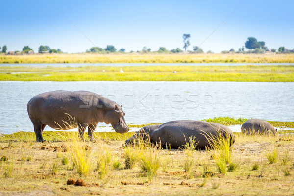 Hippo Stock photo © THP