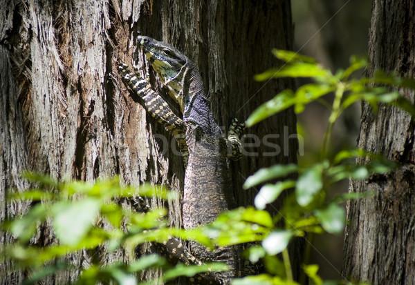 Wild Goanna Stock photo © THP