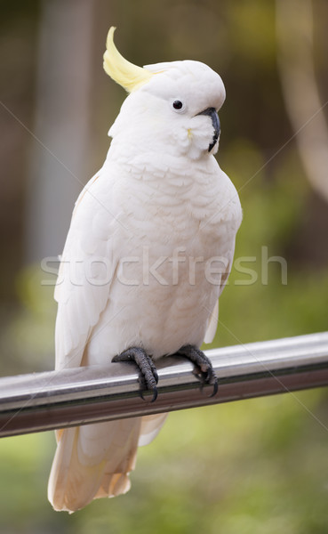 Sulphur Crested Cockatoo Stock photo © THP