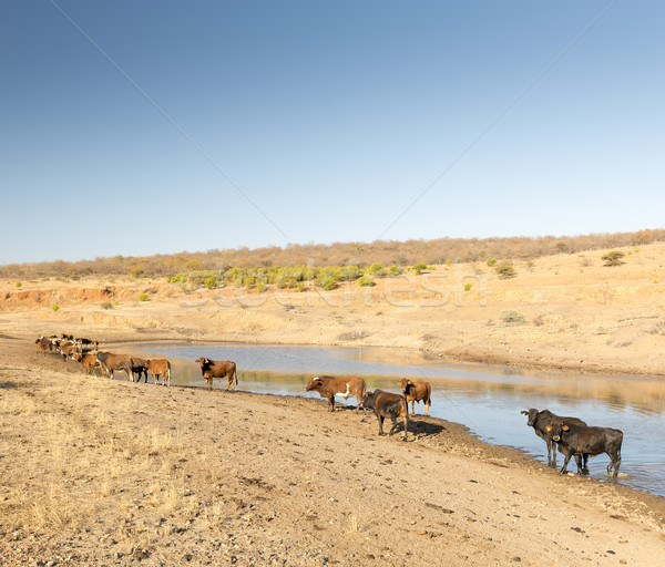 Beef Cattle in Africa Stock photo © THP