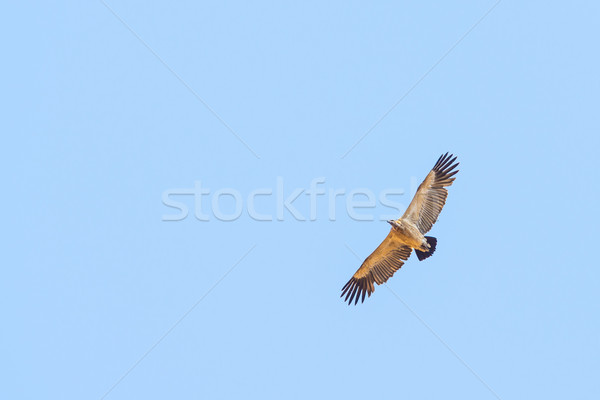 Vulture Flying Overhead Stock photo © THP