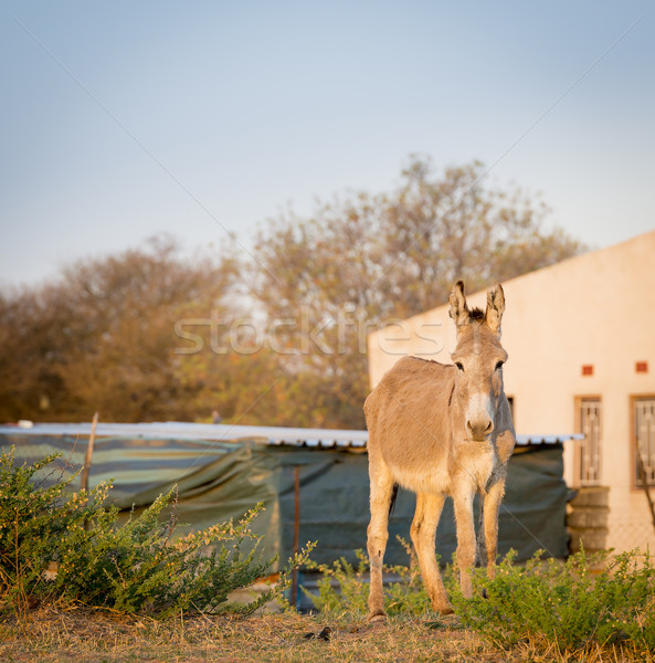 Donkey in Africa Stock photo © THP