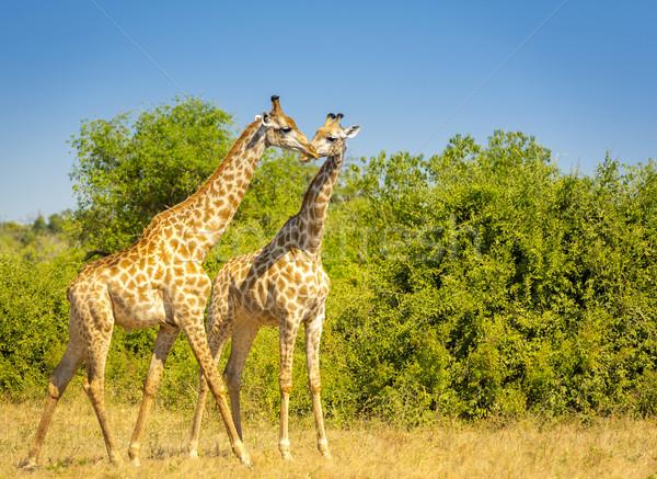 Zürafa Afrika çift park Botsvana Stok fotoğraf © THP