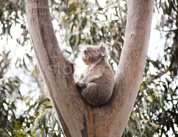 Stock photo: Koala