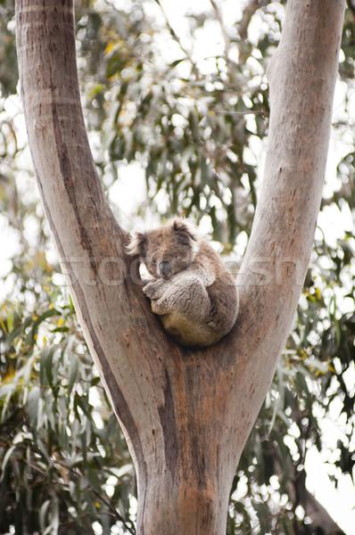 Koala tener goma árboles Australia Foto stock © THP