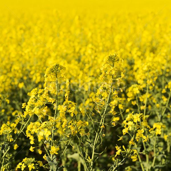 Stock photo: Canola Flower