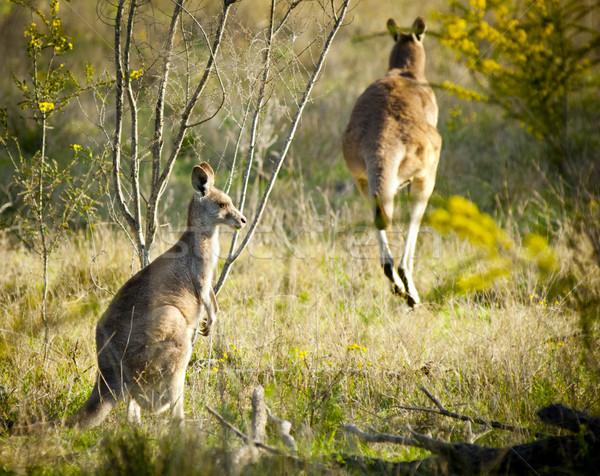 Kangaroo Stock photo © THP