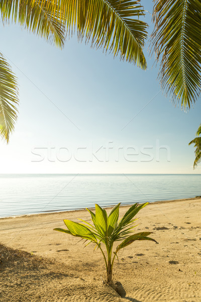 Fresh Palm Tree Growing Stock photo © THP