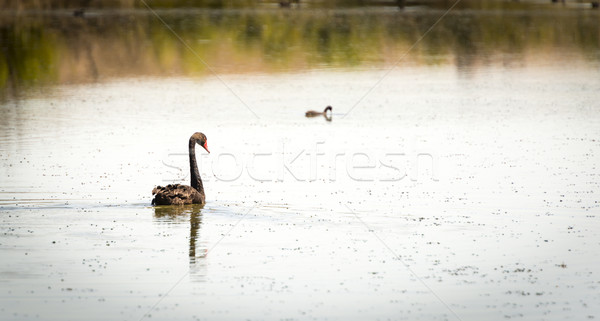 Nero Swan nuoto sezione fiume Foto d'archivio © THP