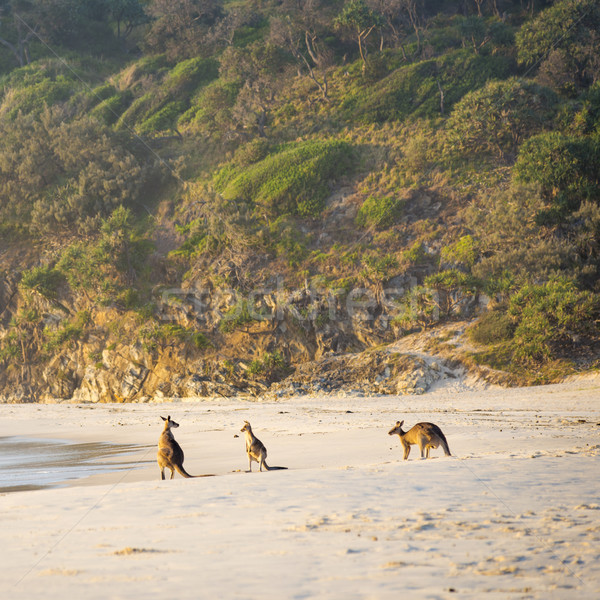 Kangaroos On Beach At Dawn Stock photo © THP