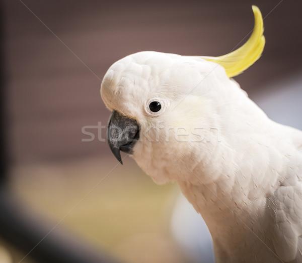 Kakadu papagáj madár ausztrál bokor fehér Stock fotó © THP