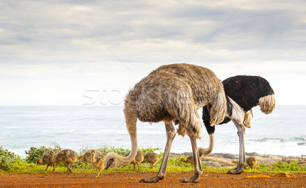 Ostrich Family Stock photo © THP