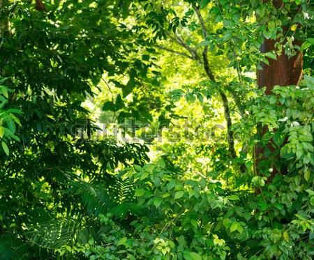 зеленый лес природы пышный листва деревья Сток-фото © THP