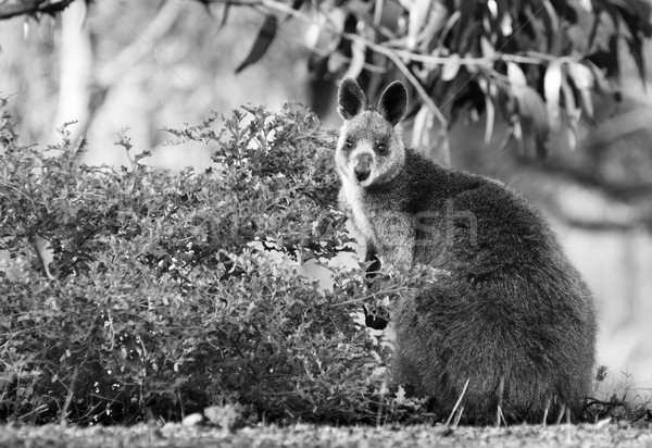 Wallaby Stock photo © THP