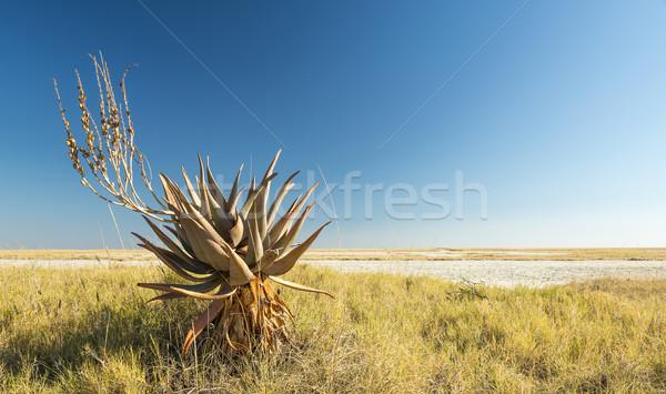 African Aloe Vera Stock photo © THP