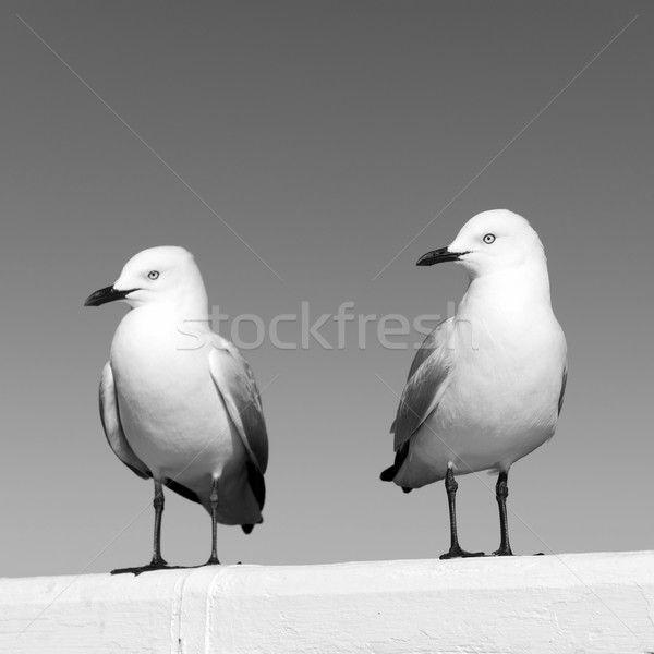 Mewy dwa posiedzenia biały ocean Zdjęcia stock © THP