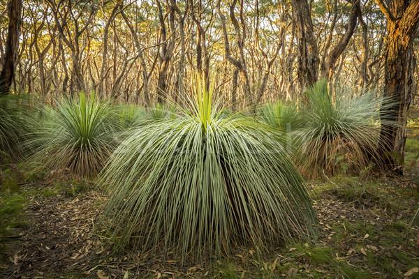 Ausztrál tájkép fű fák dél mély Stock fotó © THP