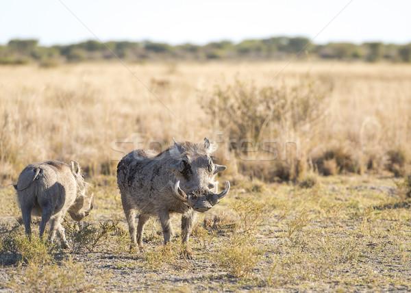 Warthog Stock photo © THP