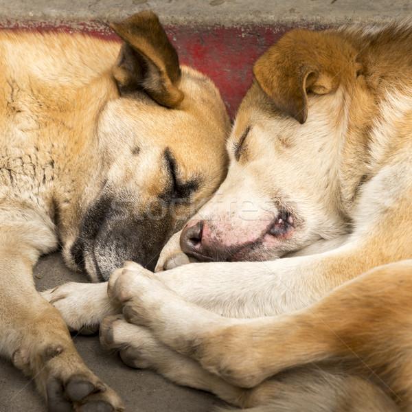 Cães melhor amigo par adormecido cão Foto stock © THP
