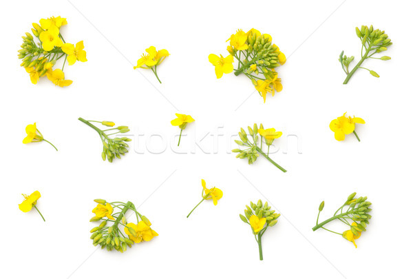 Rapeseed Flowers Isolated on White Background Stock photo © ThreeArt