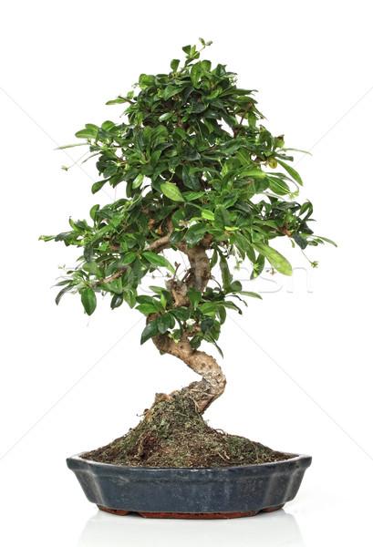Klasik bonsai görüntü genç pot ağaç Stok fotoğraf © tiero