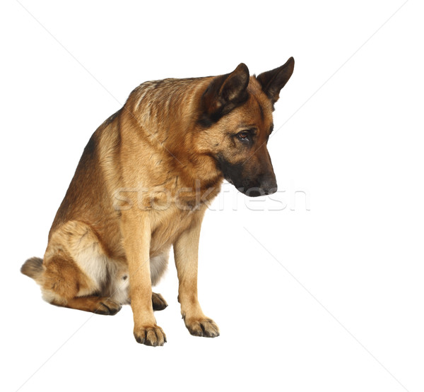 german shepard portrait Stock photo © tiero