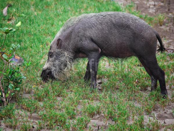 Bebaarde varken borneo park angst gevaar Stockfoto © tiero