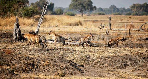 Hyäne Gruppe Park Sambia Natur Afrika Stock foto © tiero