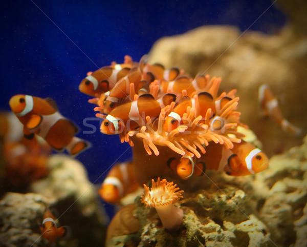 tropical fish Stock photo © tiero