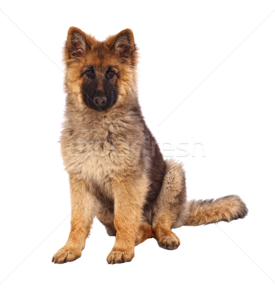 german shepard puppy Stock photo © tiero
