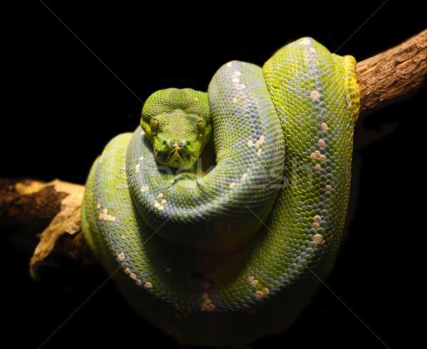 Vert serpent image nature Photo stock © tiero