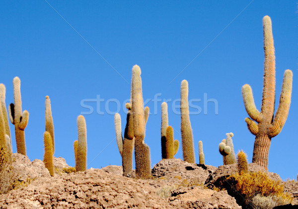 cactus background Stock photo © tiero
