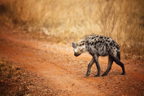 Hyäne Blick zurück Fuß Park Sambia Natur Stock foto © tiero