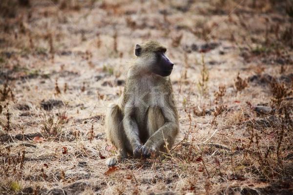 бабуин портрет парка Замбия природы животного Сток-фото © tiero