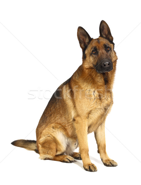german shepard on white Stock photo © tiero