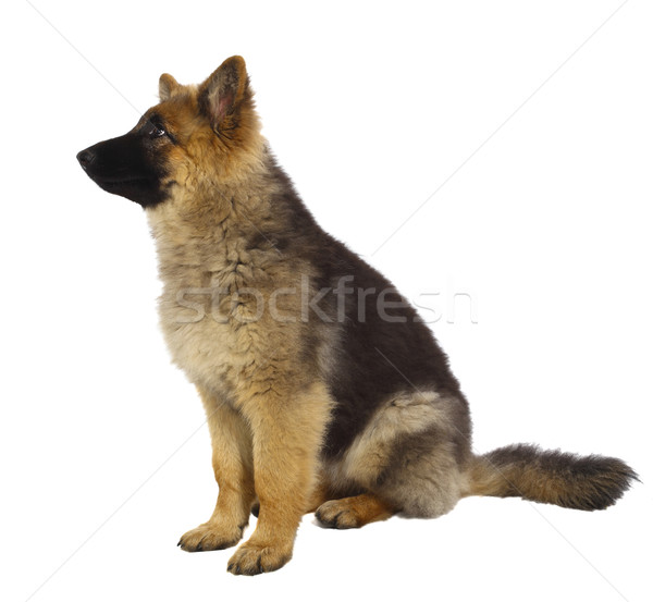 puppy of german shepard dog Stock photo © tiero