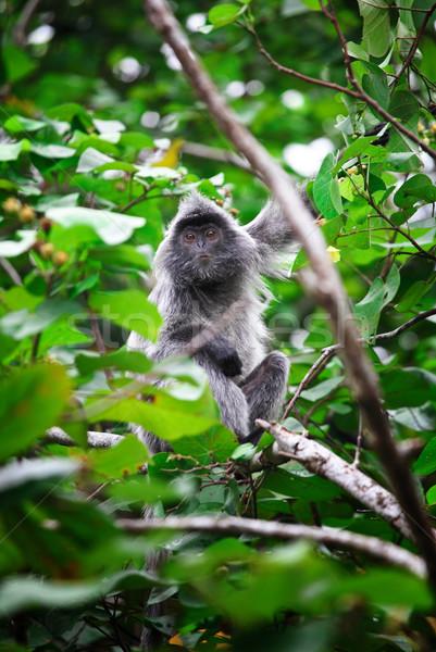 猿 肖像 銀 公園 ボルネオ島 ストックフォト © tiero
