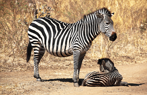 zebra mother and baby Stock photo © tiero