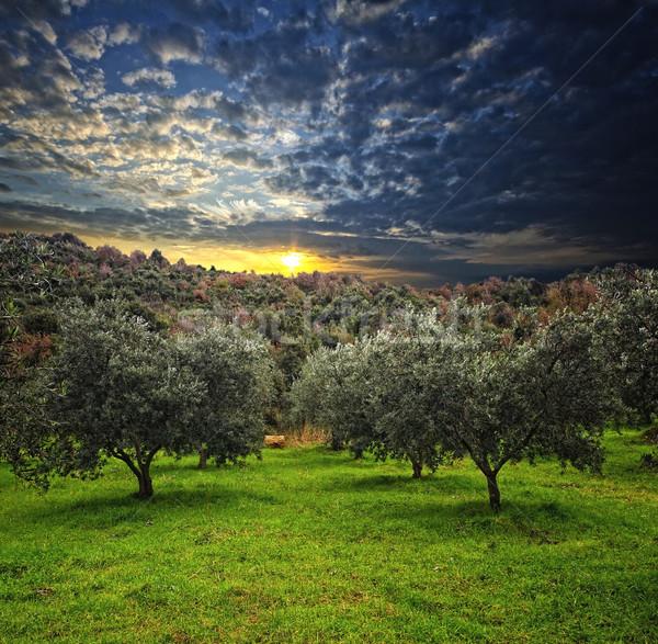 Olijfboom groep groene veld hout hemel Stockfoto © tiero