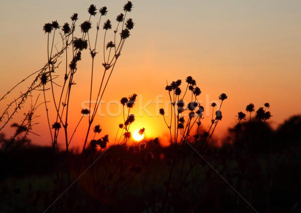 cotton flowers Stock photo © tiero