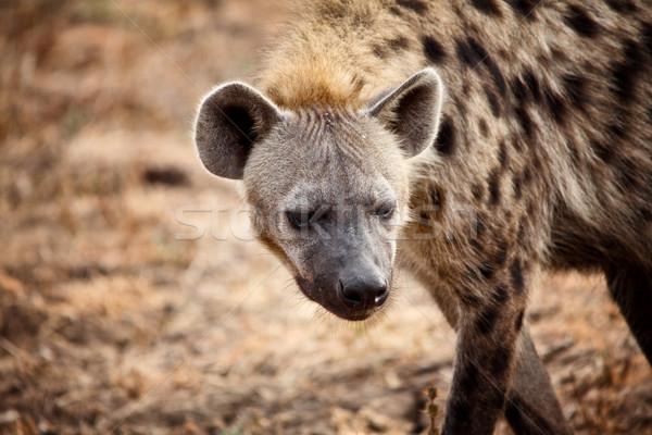 Hyäne Porträt Sambia Natur Afrika Stock foto © tiero