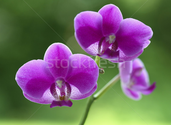 orchid natural flower Stock photo © tiero